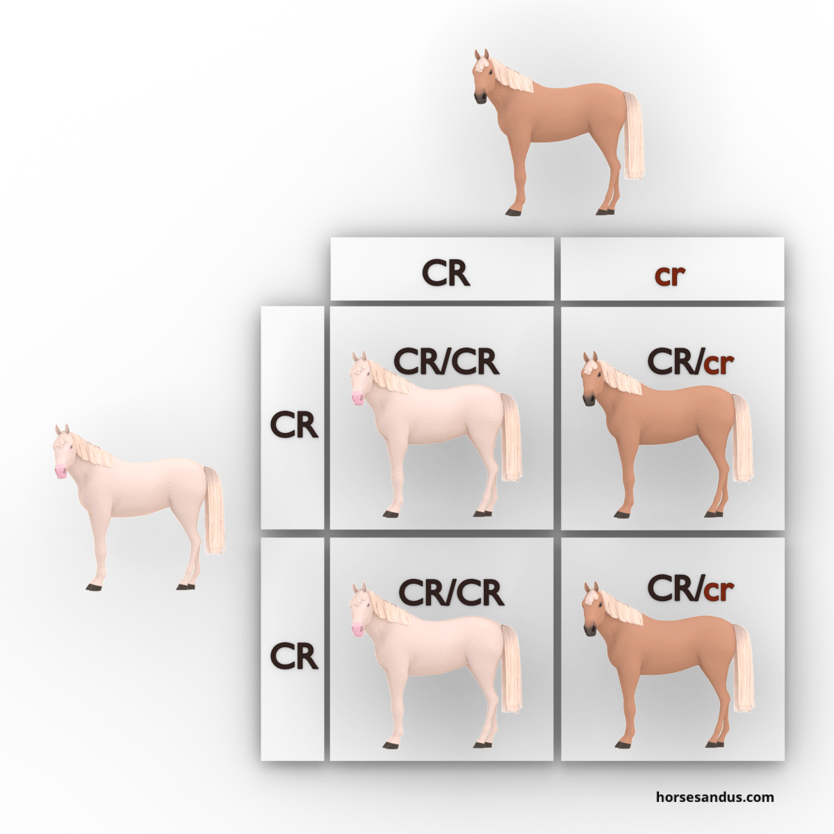 equine cream dilution gene - cremello and palomino
