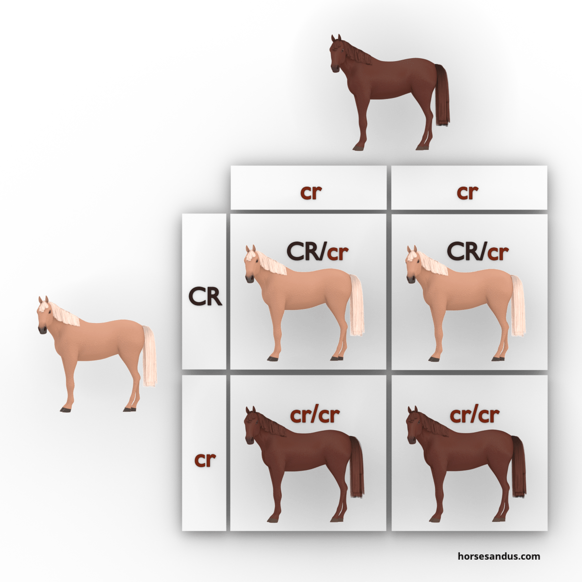 equine cream dilution gene -chestnut and palomino