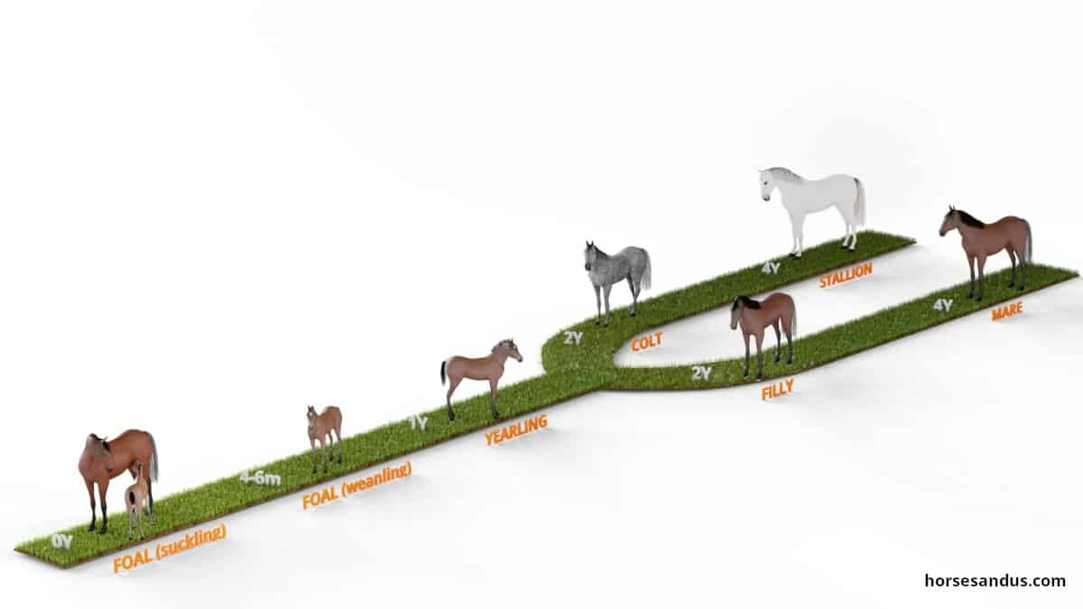 5 stages if horse life cycle