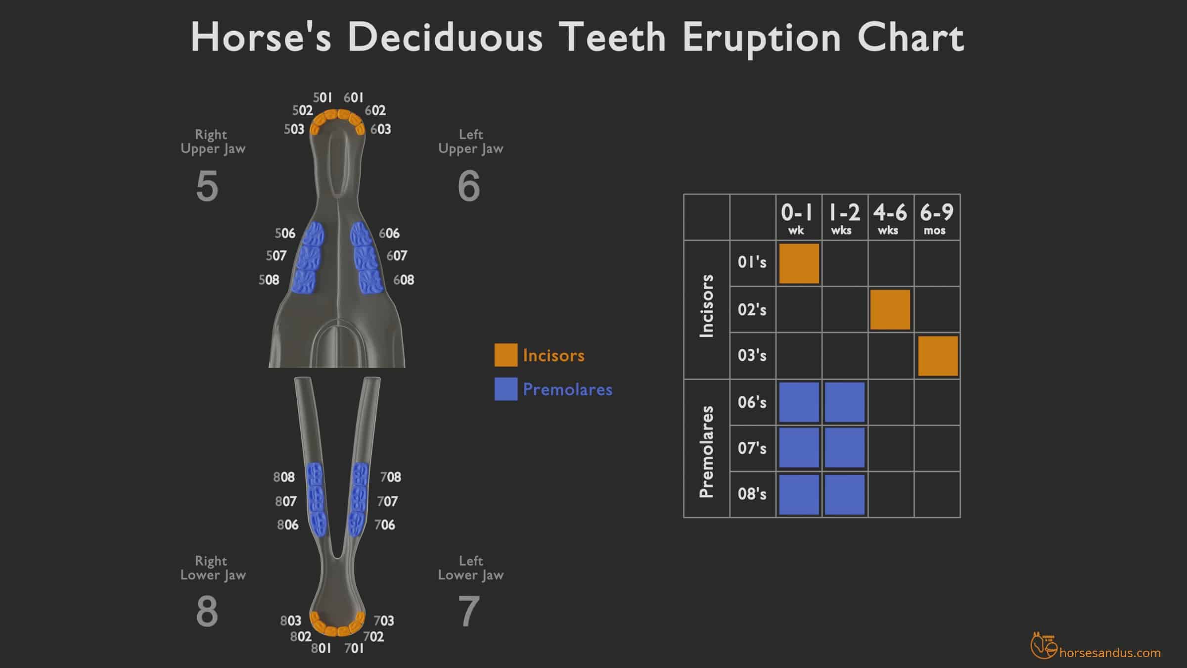 ging a horse by his teeth - Deciduous teeth eruption chart
