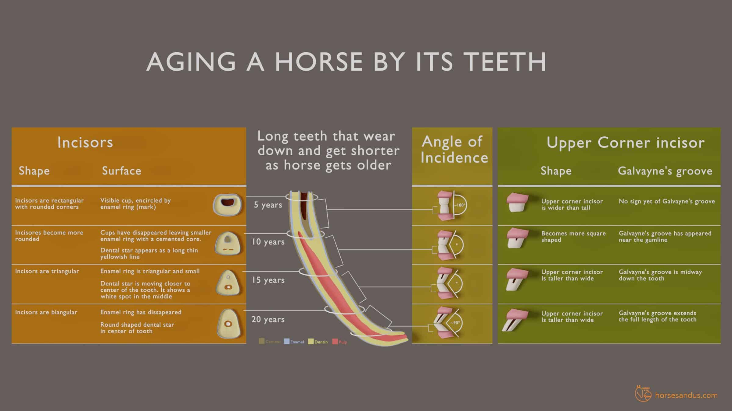 Aging a horse by its teeth wear - infographics
