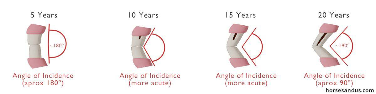 Aging a horse by its teeth - Incisors angle of incidence