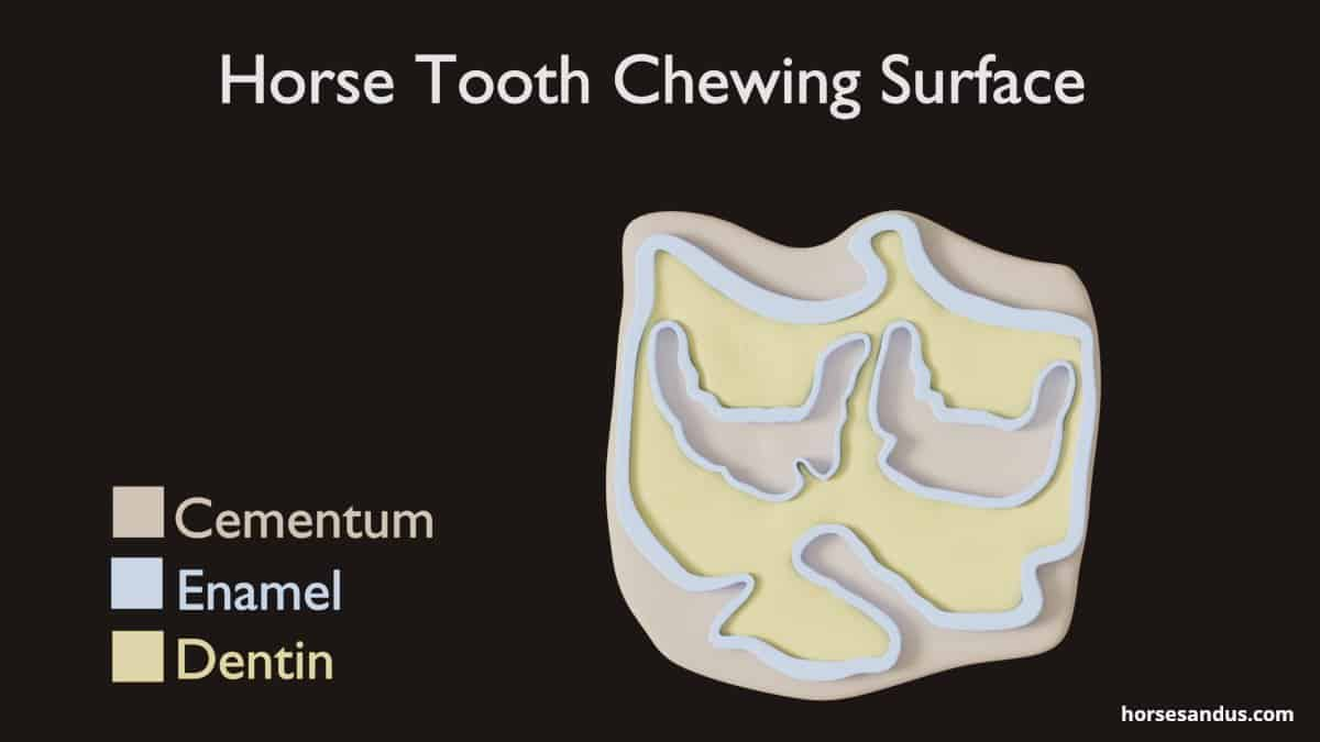 Horse teeth chewing surface - Cementum, Enamel and Dentin
