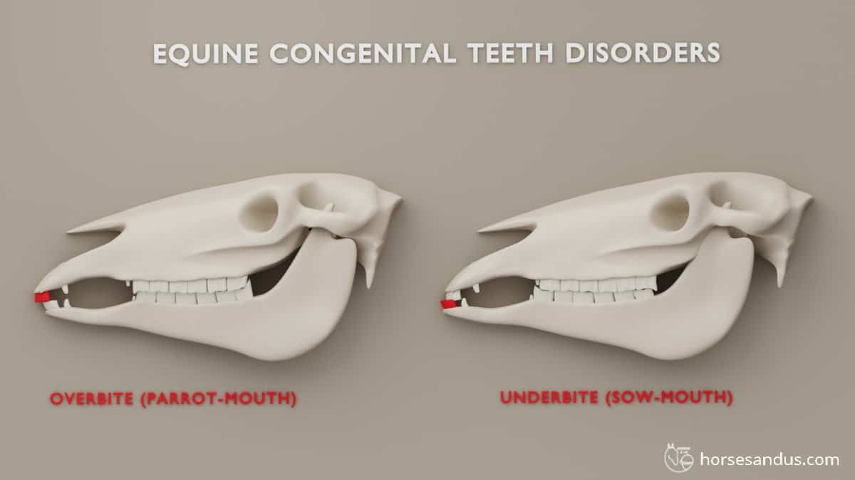 Horse teeth parrot-mouth (overbite) and sow-mouth (underbite)