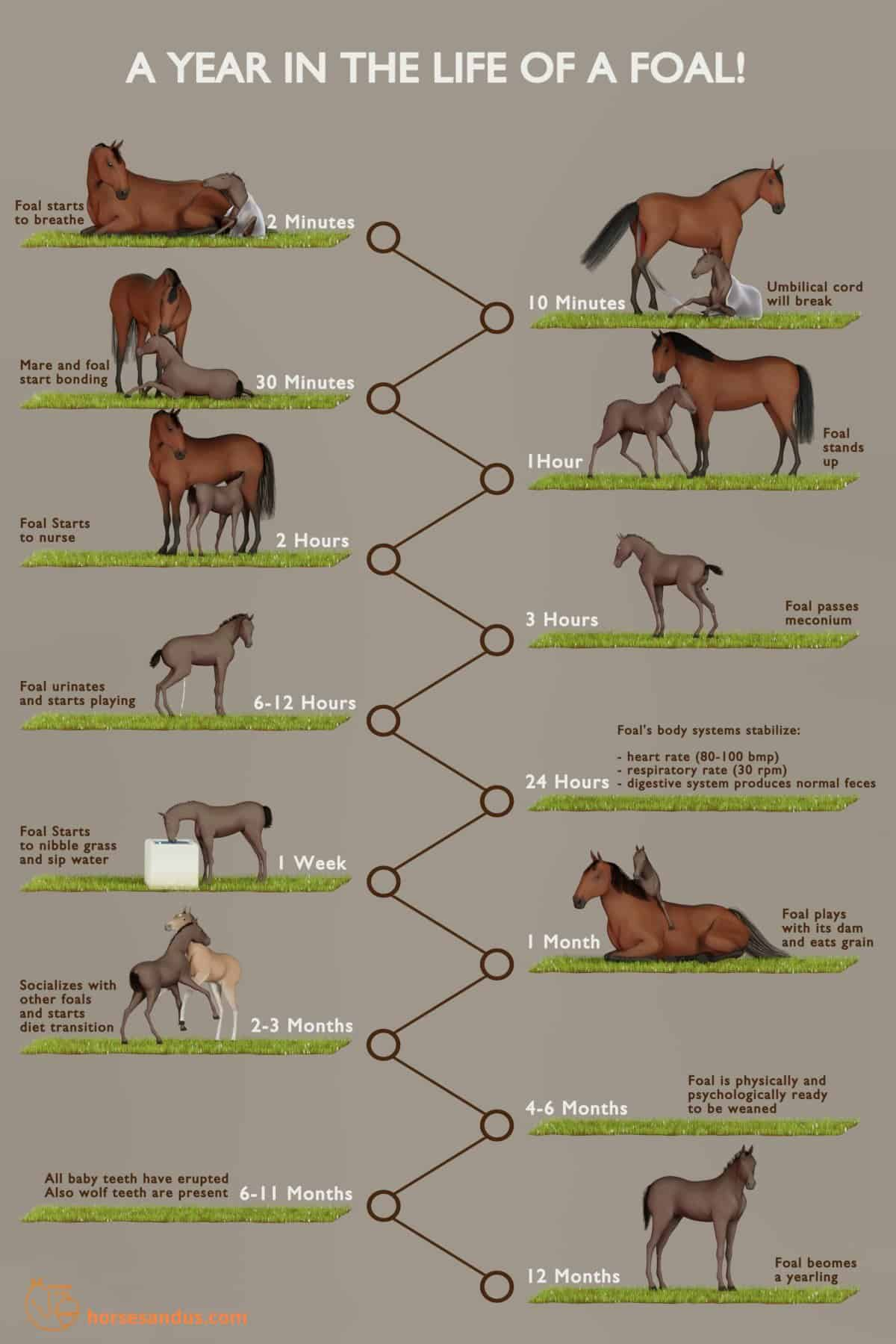 First year of a foal´s life