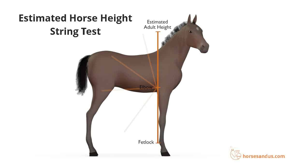 Estimated horse height - string test