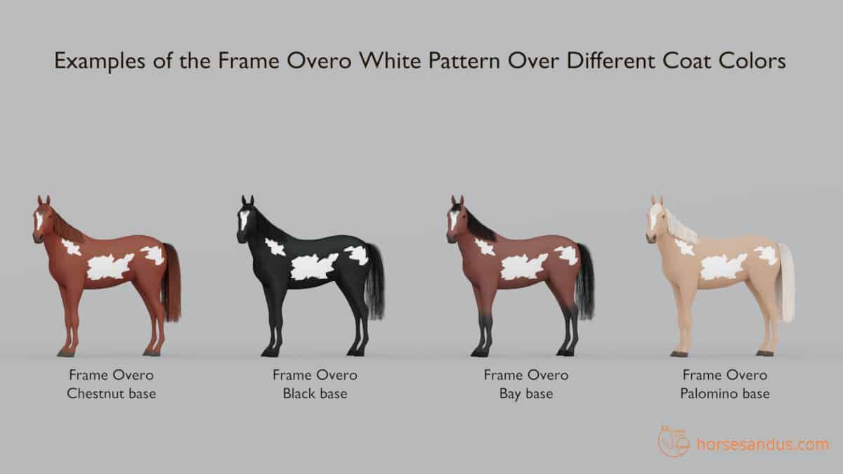 Frame Overo Pattern over different coat colors