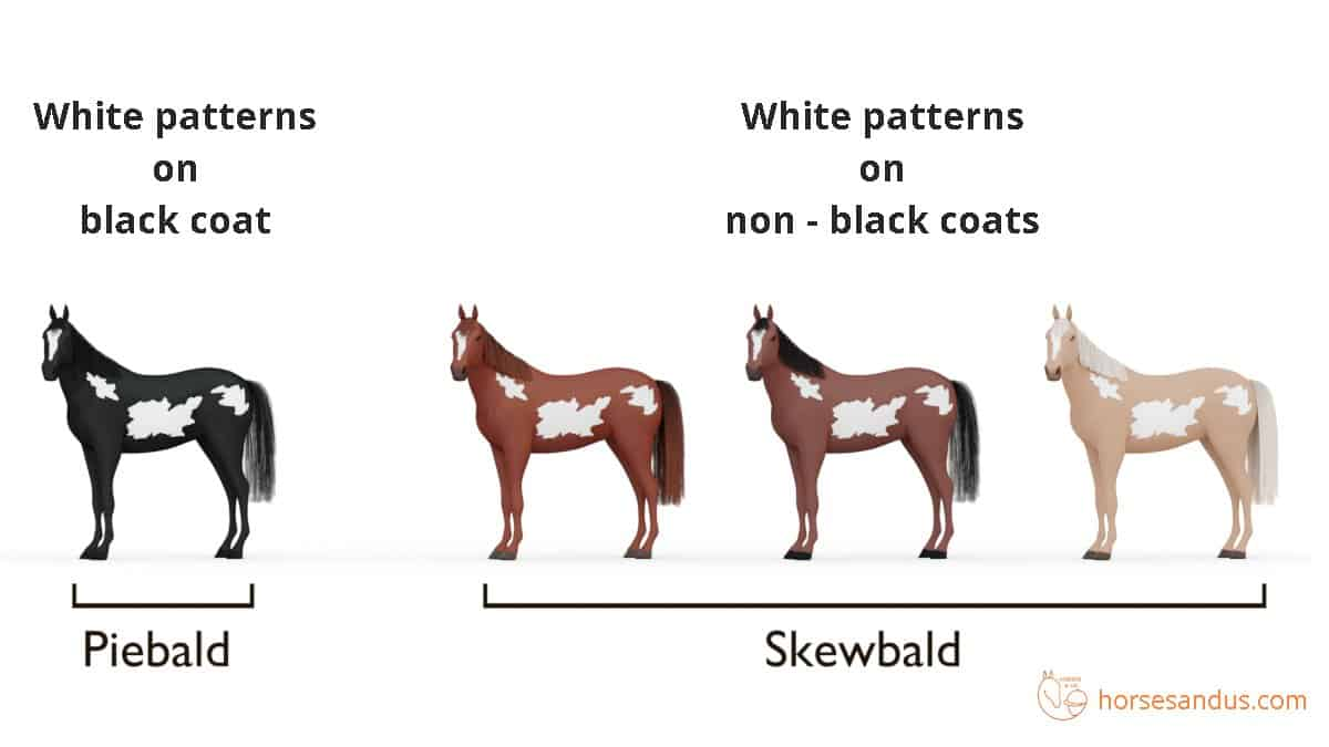 Horse white patterns - Piebald vs Skewbald