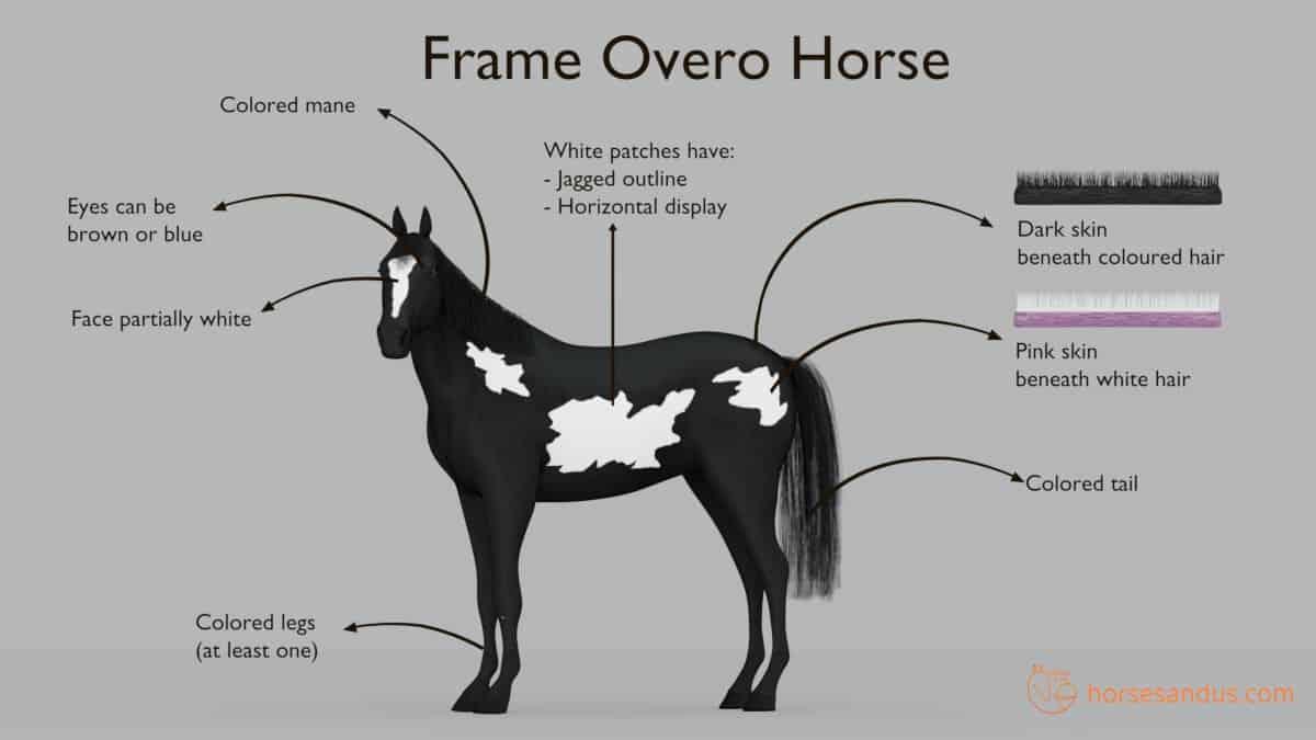 Characteristics of a Frame Overo Horse