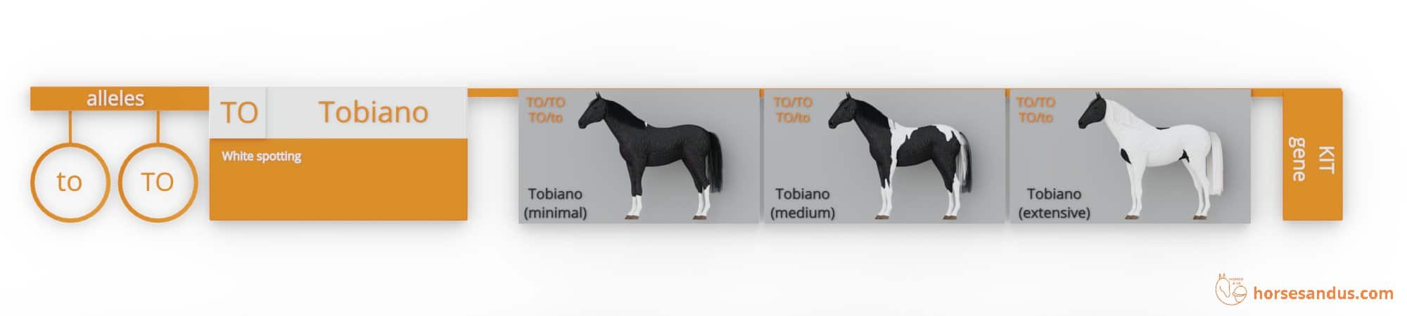 Horse Tobiano genes (TO, to)