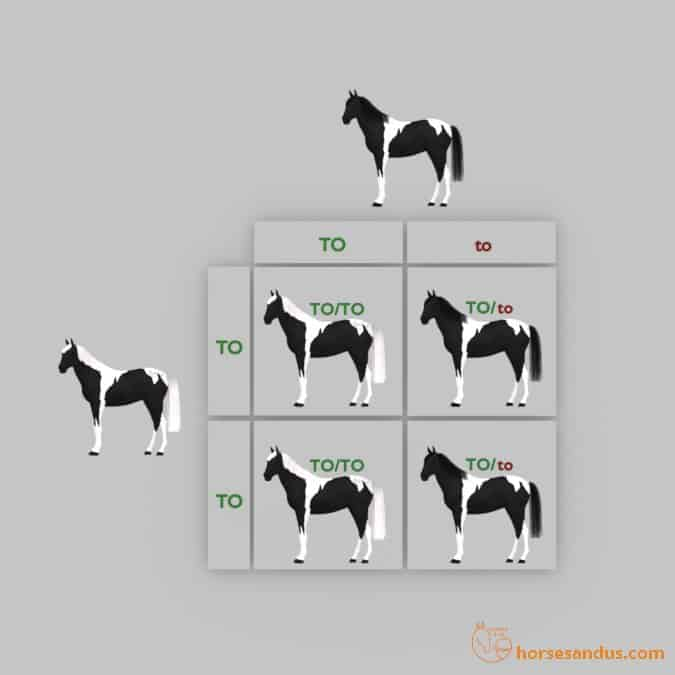 Horse Tobiano Punnett square (TO/TO x TO/to)