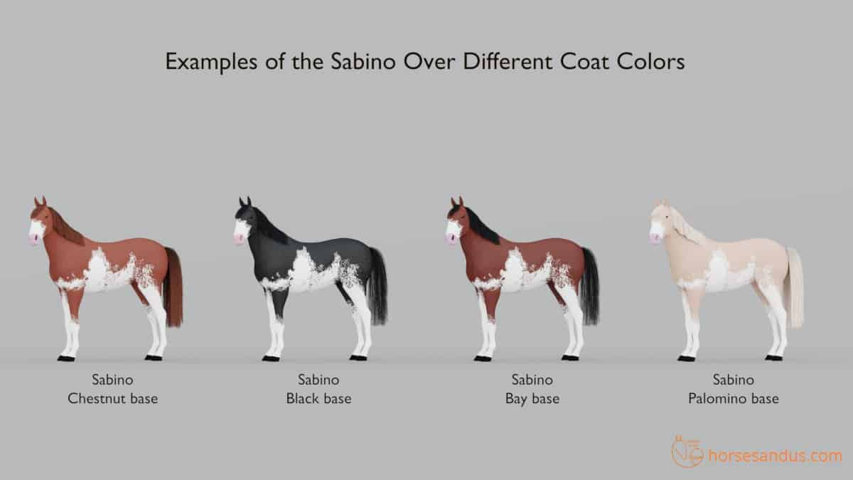 Sabino horse white pattern over different coat colors
