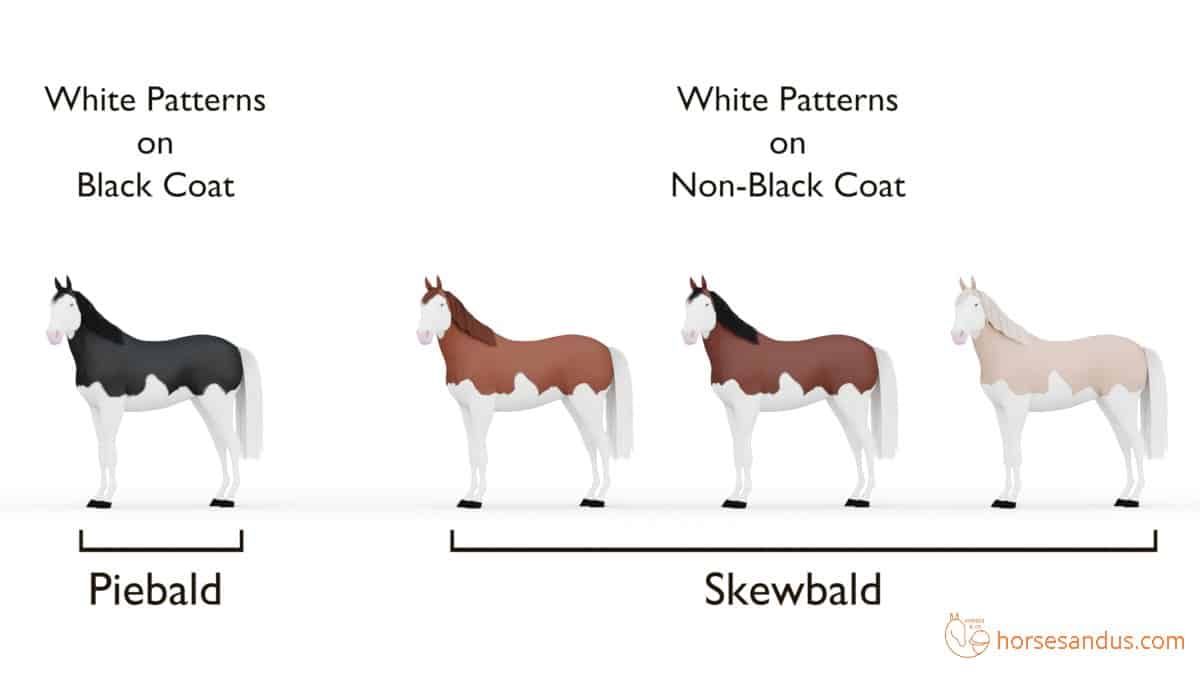 Horse Splashed white pattern: Piebald and Skewbald