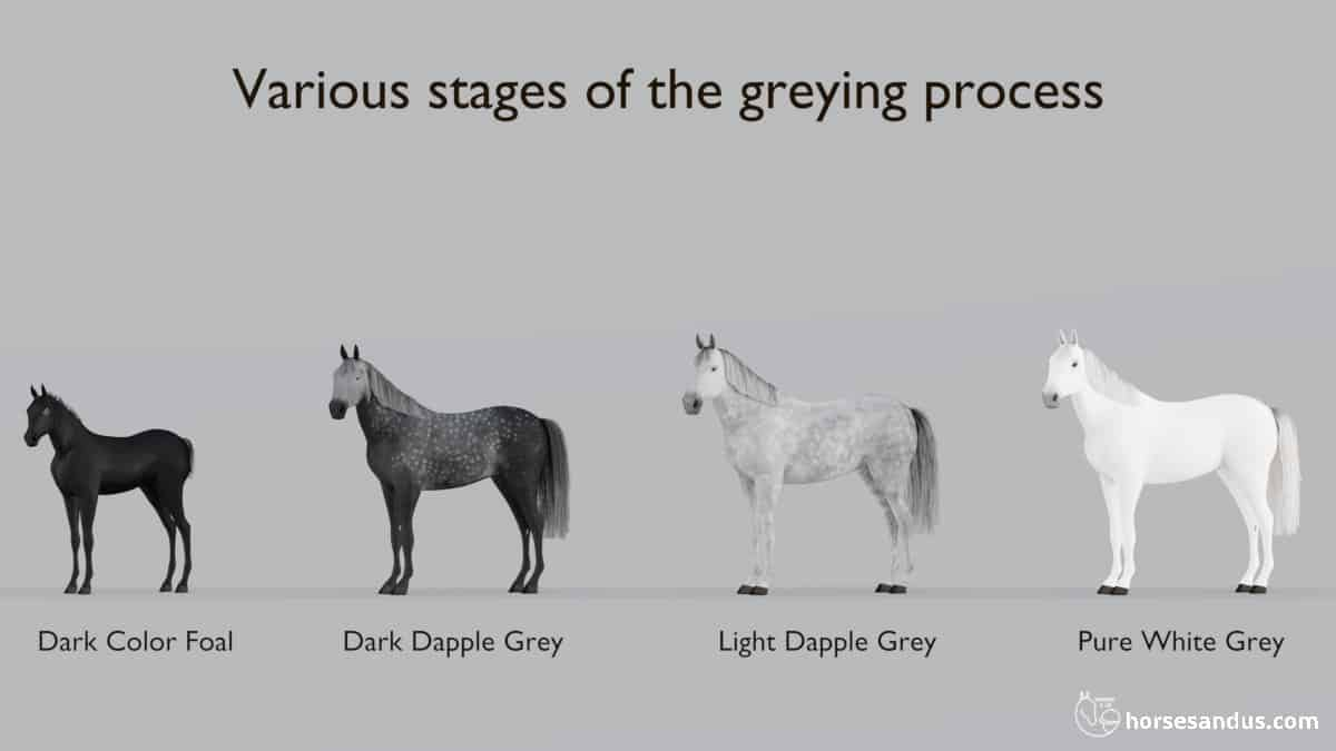 Greying progression as the horse ages