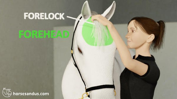 horse forehead and forelock