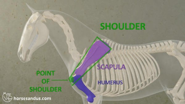 horse shoulder and point of shoulder. Scapula and humerus