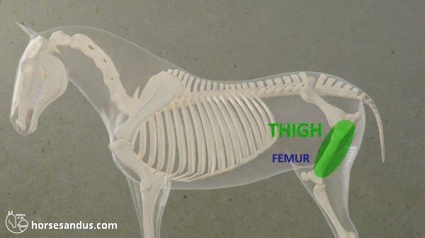 horse thigh and femur