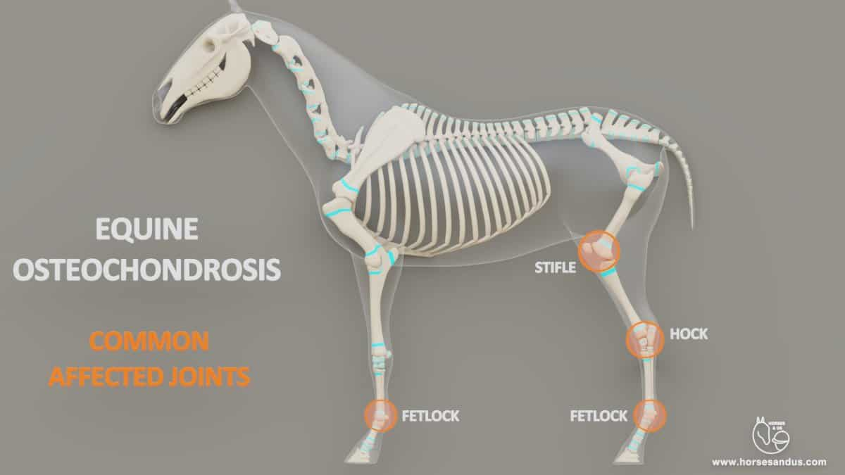 Equine Osteochondrosis. Most common joints affected. Fetlocks, hock and stifle