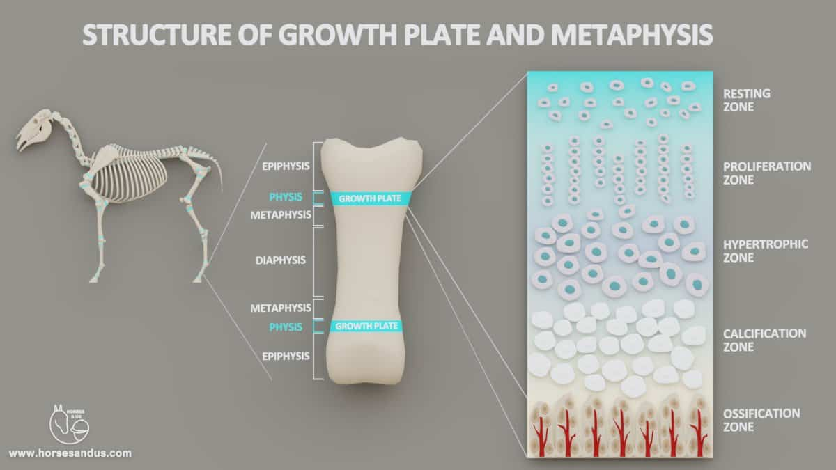 Structure of growth plates - zones of growth plate and metaphysis