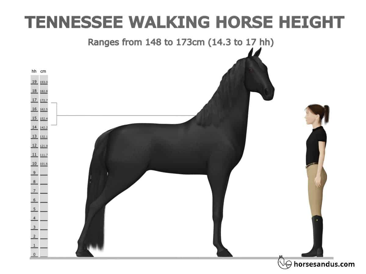 Tennessee Walking Horse Height